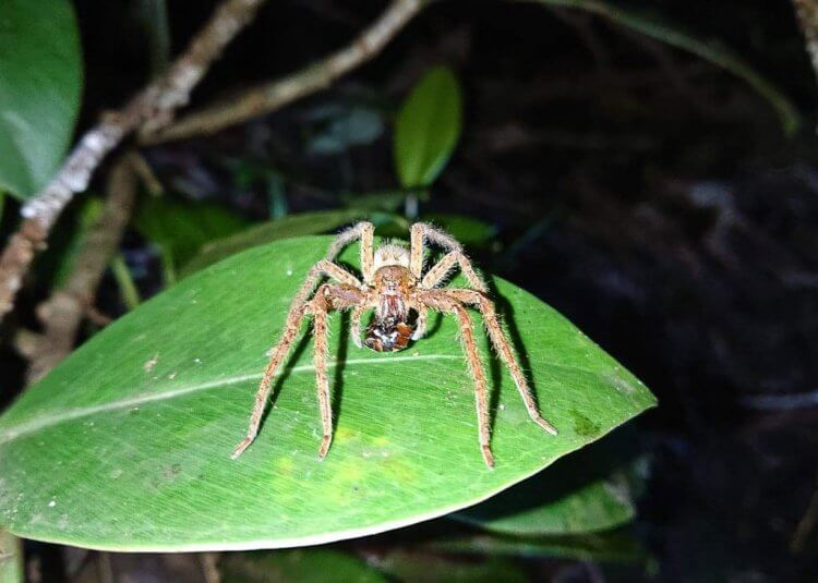 A wolf spider inside Curi Cancha private reserve.