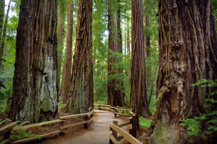 Redwood trees standing tall alongside a dirt pathway with railings.