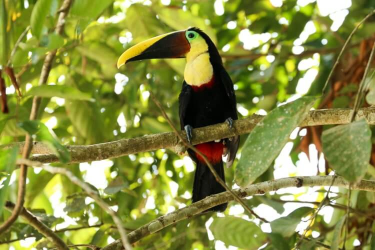 Toucan inside parque nacional manuel antonio