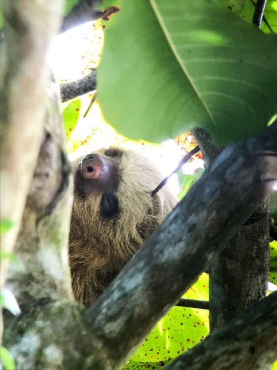 Sloth sleeping in the trees of Manuel Antonio National Park