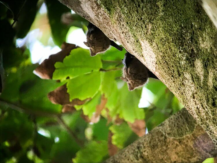 Bats sleeping under the leaves in costa rica manuel antonio national park