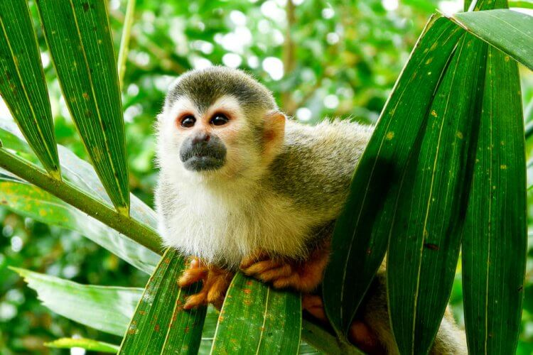 Photo of a Capuchin money sitting on a palm. Best Costa Rica trips for wildlife viewing.