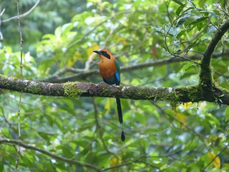 MotMot bird sitting on a branch with orange, green and blue coloring.