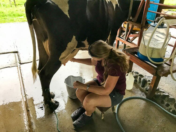 Woman wearing shorts and a t-shirt milking a black and white cow inside the barn.