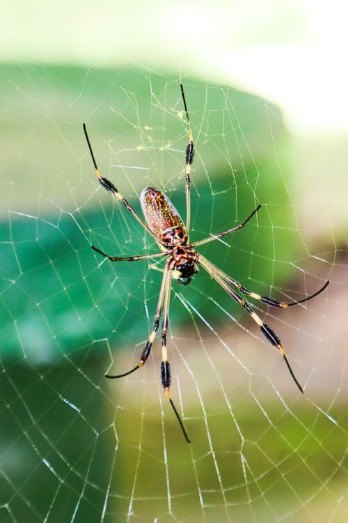 Large spider with brown body and black stripes on its legs sitting in a web.