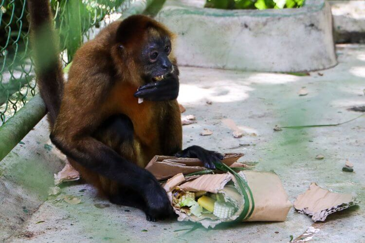 Monkey opening a package (cardboard with natural ribbon). There are fruit and vegetables inside.