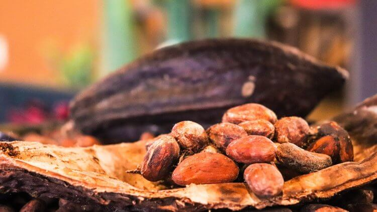 Cocoa seeds sitting inside a pod with another pod in the background.