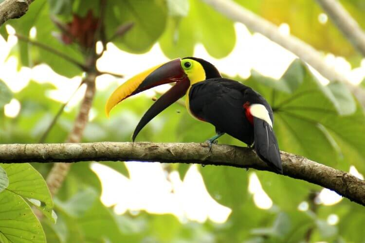 Toucan sitting in the trees near La Fortuna, Costa Rica