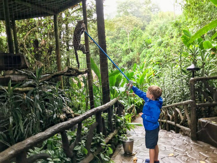 Little boy wearing a bright blue raincoat holding a grasping device and he is holding a piece of meat next to a cat enclosure. A cat is hanging on the fence biting the meat at the Peace Lodge, Costa Rica.