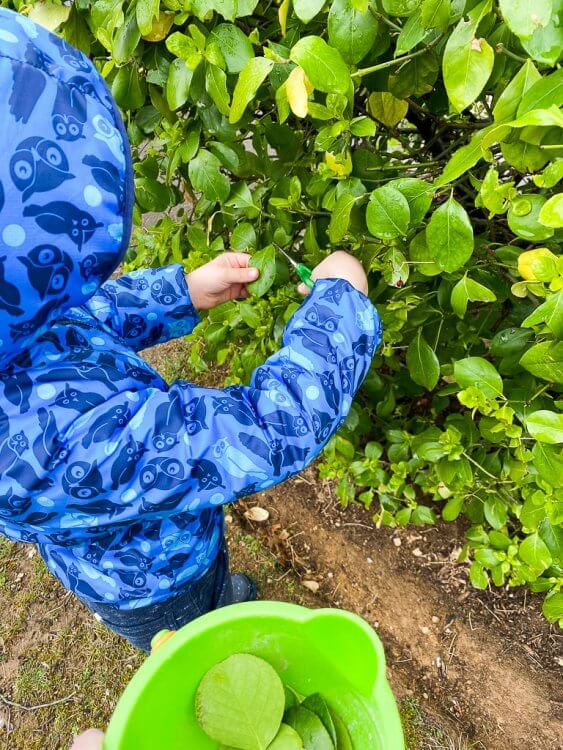 Little boy in an owl jacket clipping leaves off a bush with scissors and placing them in a green bucket.
