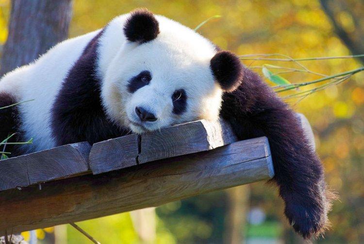 Panda Bear resting on a wooden platform.