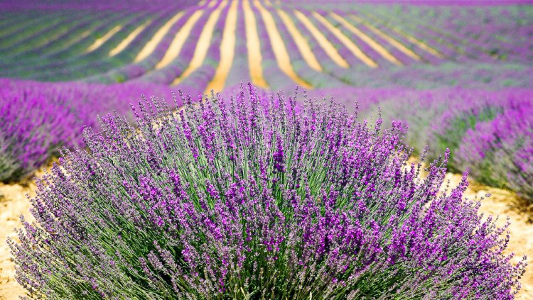 Large field of Lavender.