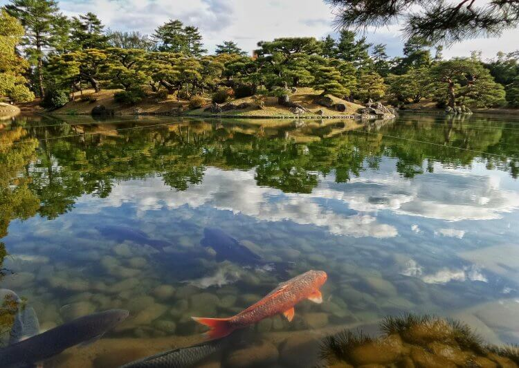 Koi fish swimming in a pond with Japanese gardens around it.