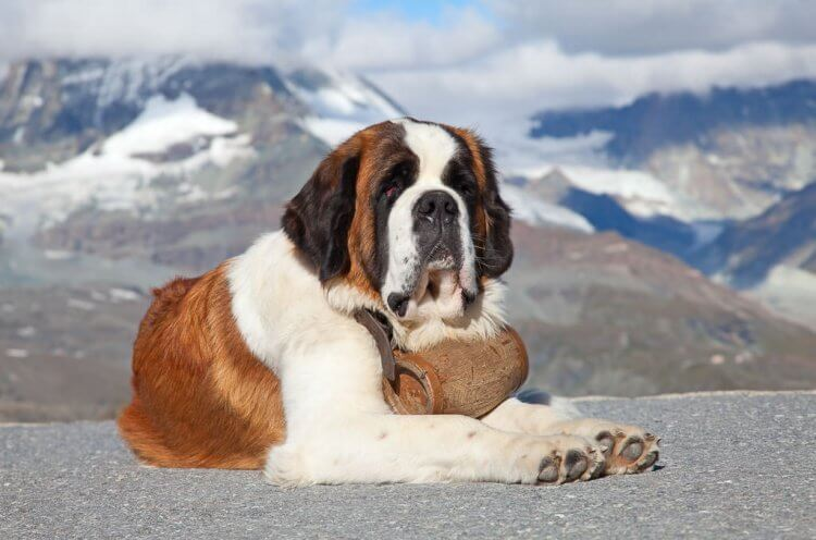 St. Bernard Rescue dog.