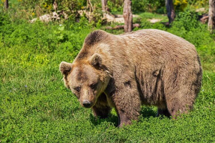 Brown bear walking on the grass.