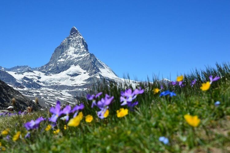 Matterhorn in the distance with purple and yellow flowers in the foreground on the grassy hill.
